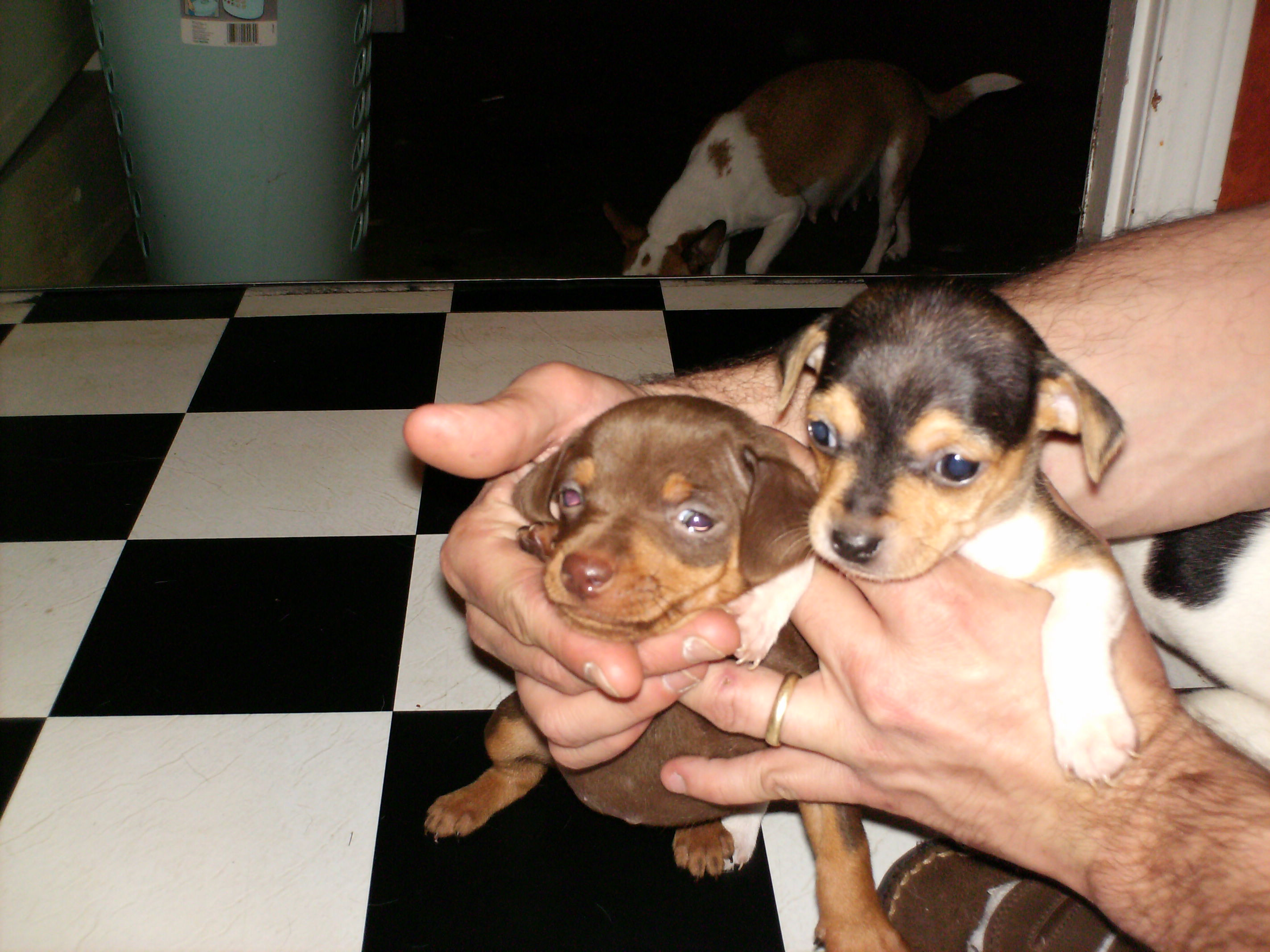 min pin chihuahua mix puppies for sale chihuahua miniature pinscher mix ready now 5141